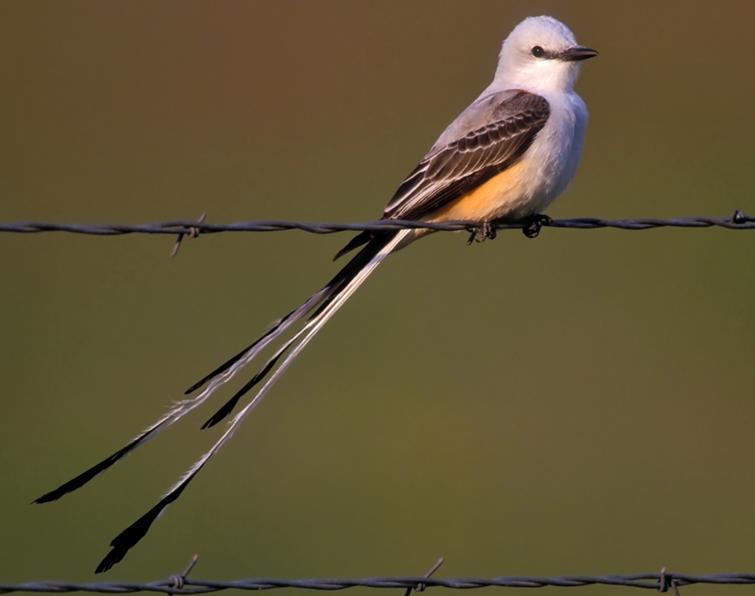 Scisso-tailed Flycatcher