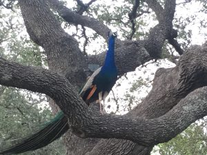 One of Peggy and Bill's peacocks up in a tree